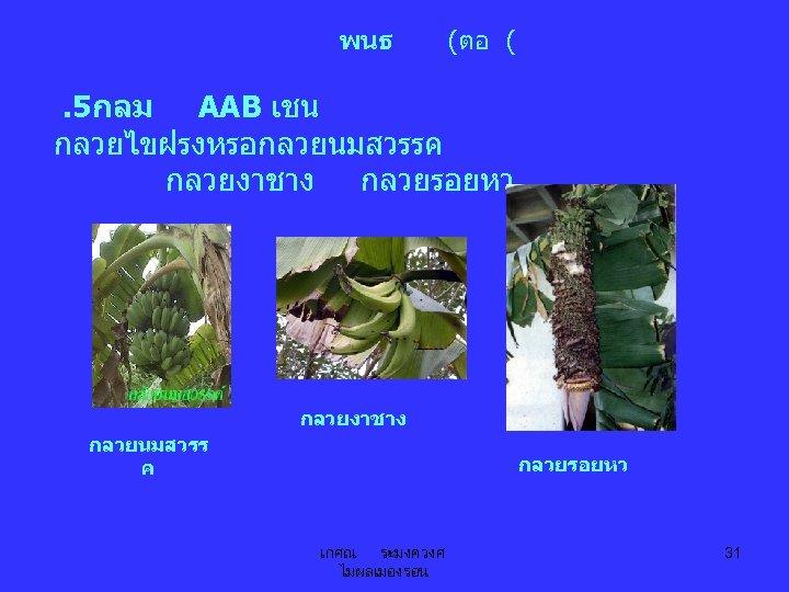พนธ (ตอ ( . 5กลม AAB เชน กลวยไขฝรงหรอกลวยนมสวรรค กลวยงาชาง กลวยรอยหว กลวยงาชาง กลวยนมสวรร ค กลวยรอยหว