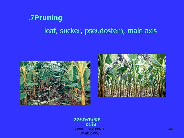 . 7 Pruning leaf, sucker, pseudostem, male axis ตดแตงหนอแ ละใบ เกศณ ระมงควงศ ไมผลเมองรอน 42