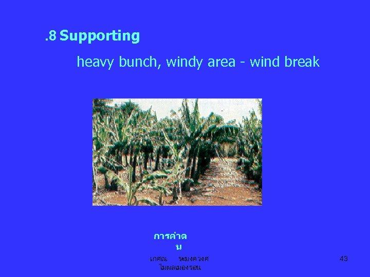 . 8 Supporting heavy bunch, windy area - wind break การคำต น เกศณ ระมงควงศ