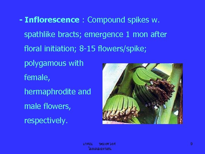 - Inflorescence : Compound spikes w. spathlike bracts; emergence 1 mon after floral initiation;