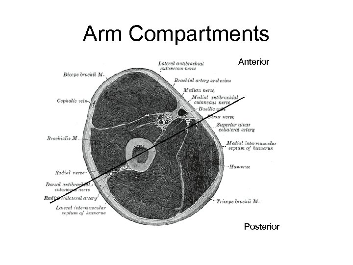 Arm Compartments Anterior Posterior