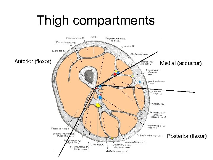 Thigh compartments Anterior (flexor) Medial (adductor) Posterior (flexor)