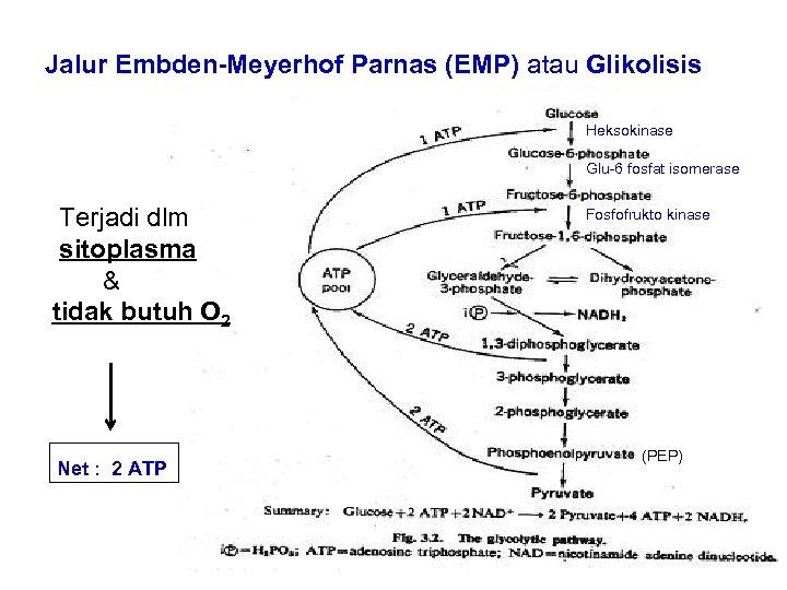 Jalur Embden-Meyerhof Parnas (EMP) atau Glikolisis Heksokinase Glu-6 fosfat isomerase Terjadi dlm sitoplasma &