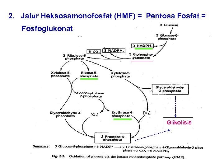 2. Jalur Heksosamonofosfat (HMF) = Pentosa Fosfat = Fosfoglukonat Glikolisis