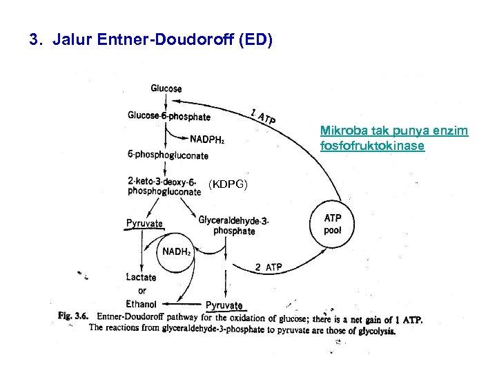 3. Jalur Entner-Doudoroff (ED) Mikroba tak punya enzim fosfofruktokinase (KDPG)