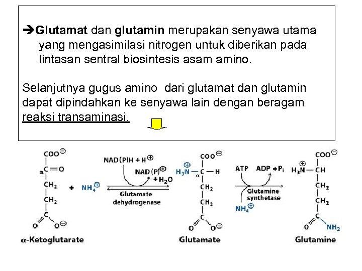 Glutamat dan glutamin merupakan senyawa utama yang mengasimilasi nitrogen untuk diberikan pada lintasan
