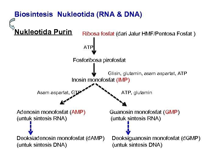 Biosintesis Nukleotida (RNA & DNA) Nukleotida Purin Ribosa fosfat (dari Jalur HMF/Pentosa Fosfat )