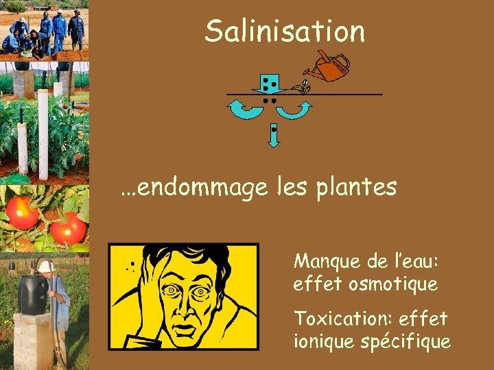 Salinisation …endommage les plantes Manque de l'eau: effet osmotique Toxication: effet ionique spécifique