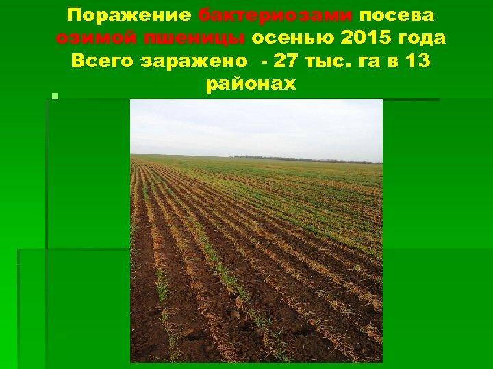 Поражение бактериозами посева озимой пшеницы осенью 2015 года Всего заражено - 27 тыс. га