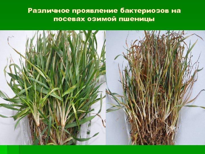 Различное проявление бактериозов на посевах озимой пшеницы Бактериозы проростки