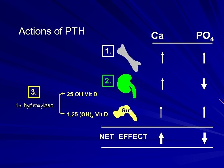 Actions of PTH Ca 1. 2. 3. 25 OH Vit D 1 hydroxylase 1,