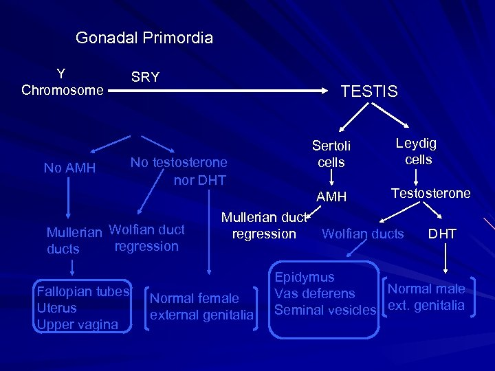 Gonadal Primordia Y Chromosome No AMH SRY TESTIS Sertoli cells No testosterone nor DHT