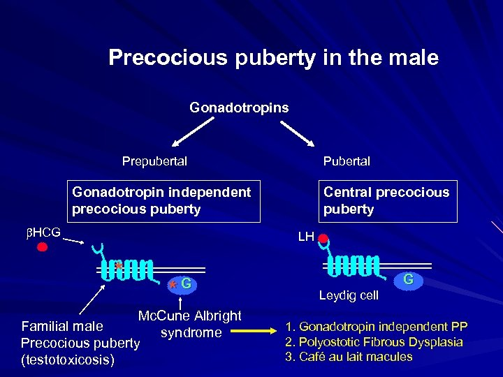Precocious puberty in the male Gonadotropins Prepubertal Pubertal Gonadotropin independent precocious puberty HCG Central