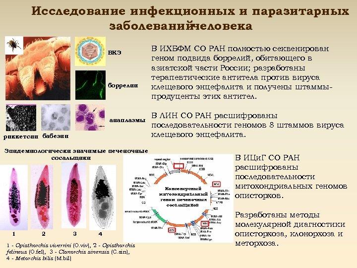 Исследование инфекционных и паразитарных заболеванийчеловека ВКЭ боррелии анаплазмы риккетсии бабезии В ИХБФМ СО РАН