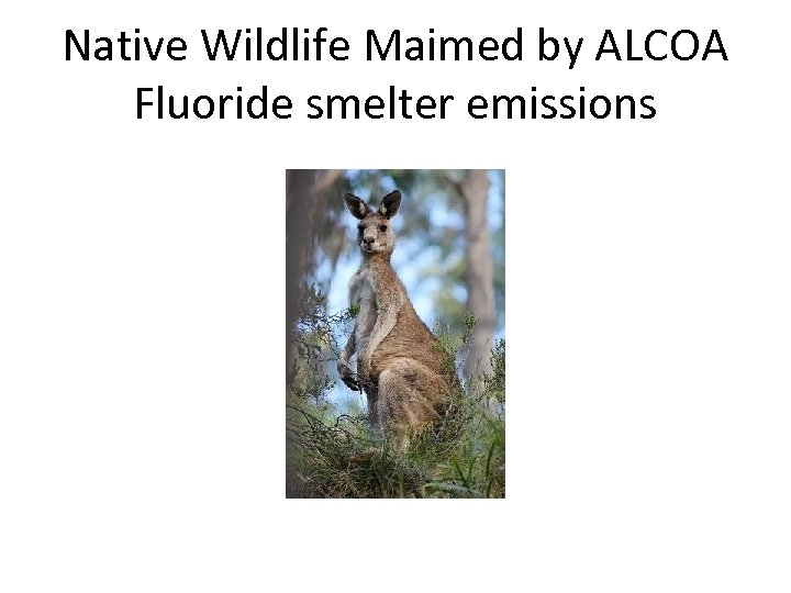 Native Wildlife Maimed by ALCOA Fluoride smelter emissions