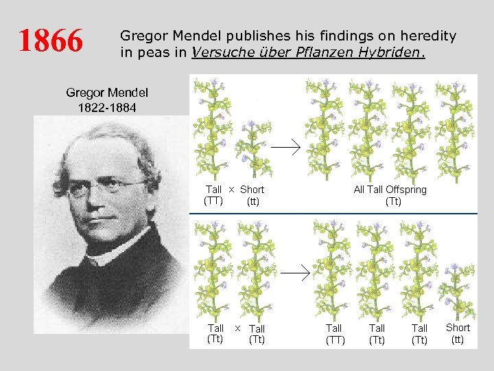 1866 Gregor Mendel publishes his findings on heredity in peas in Versuche über Pflanzen