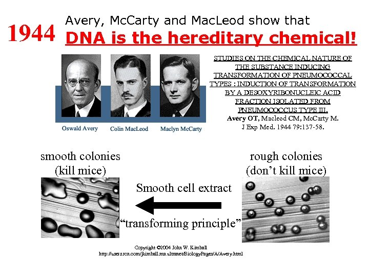1944 Avery, Mc. Carty and Mac. Leod show that DNA is the hereditary chemical!
