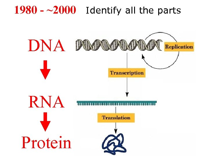 1980 - ~2000 DNA RNA Protein Identify all the parts