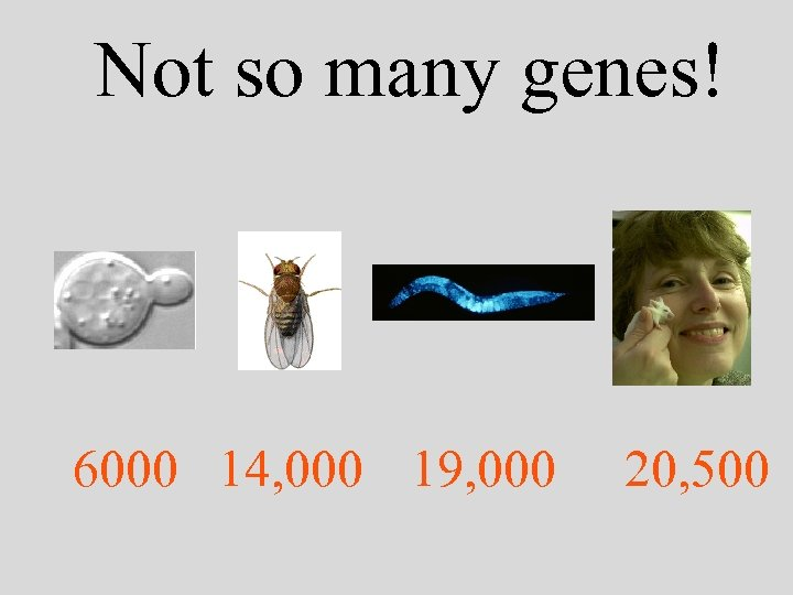 Not so many genes! 6000 14, 000 19, 000 20, 500