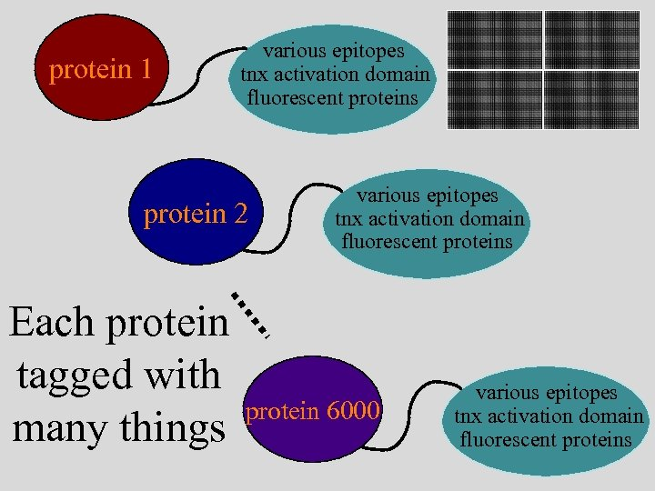 protein 1 various epitopes tnx activation domain fluorescent proteins protein 2 Each protein tagged