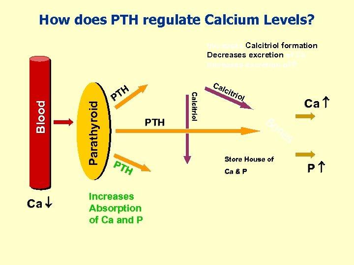 How does PTH regulate Calcium Levels? Ca Parathyroid Ca TH P PTH PT H