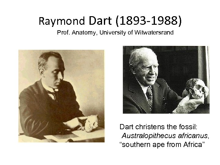 Raymond Dart (1893 -1988) Prof. Anatomy, University of Witwatersrand Dart christens the fossil: Australopithecus