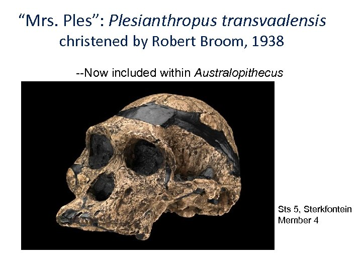 """Mrs. Ples"": Plesianthropus transvaalensis christened by Robert Broom, 1938 --Now included within Australopithecus Sts"