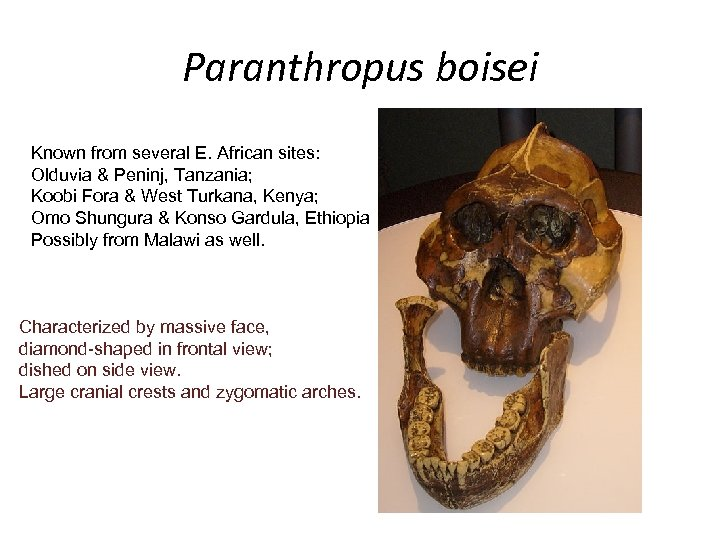 Paranthropus boisei Known from several E. African sites: Olduvia & Peninj, Tanzania; Koobi Fora