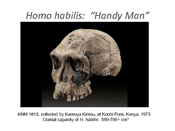"Homo habilis: ""Handy Man"" KNM 1813, collected by Kamoya Kimeu, at Koobi Fora, Kenya,"