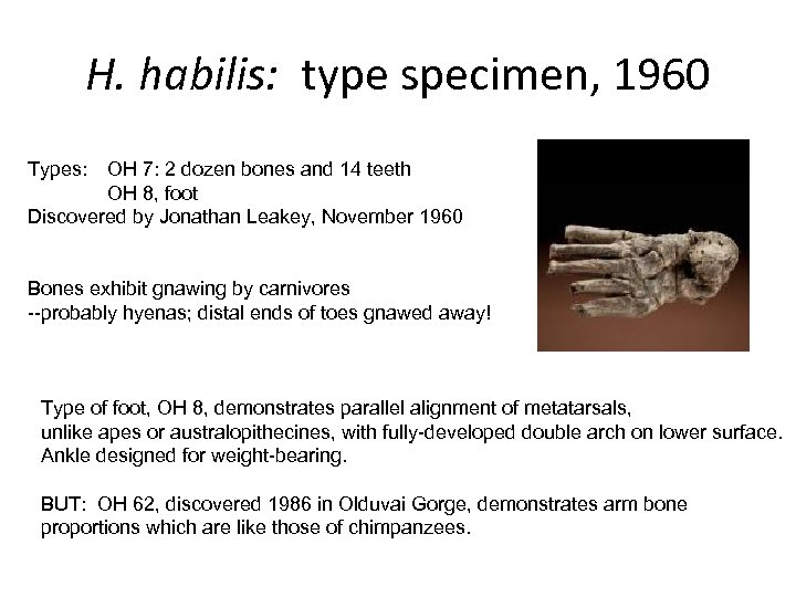 H. habilis: type specimen, 1960 Types: OH 7: 2 dozen bones and 14 teeth