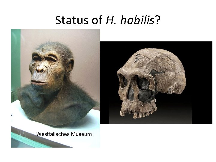 Status of H. habilis? Westfalisches Museum