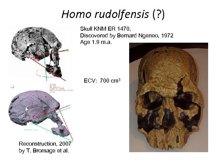 Homo rudolfensis (? ) Skull KNM ER 1470, Discovered by Bernard Ngeneo, 1972 Age