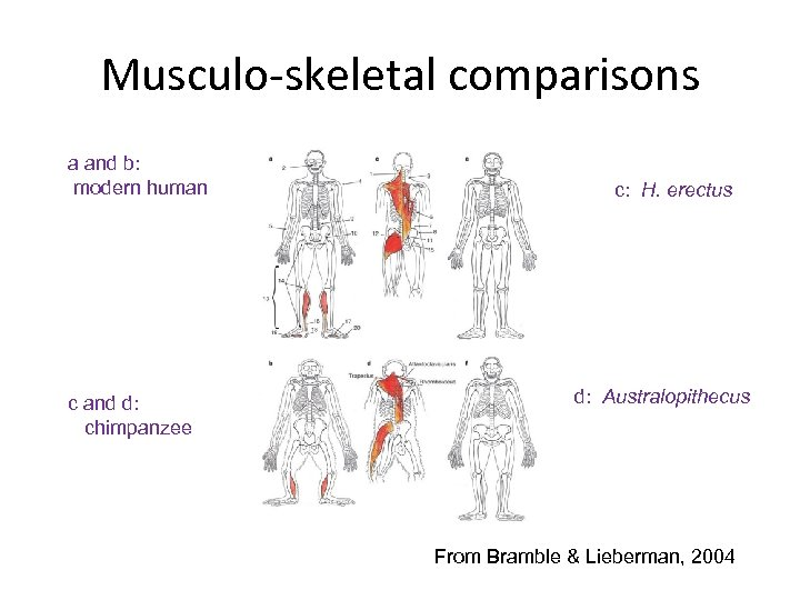 Musculo-skeletal comparisons a and b: modern human c and d: chimpanzee c: H. erectus