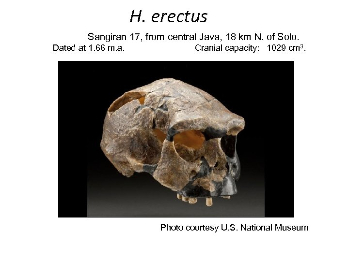 H. erectus Sangiran 17, from central Java, 18 km N. of Solo. Dated at