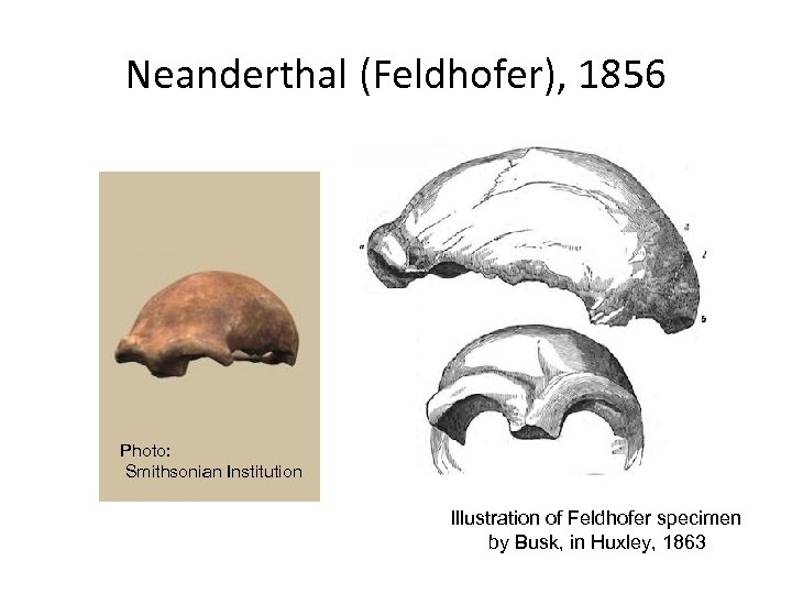 Neanderthal (Feldhofer), 1856 Photo: Smithsonian Institution Illustration of Feldhofer specimen by Busk, in Huxley,