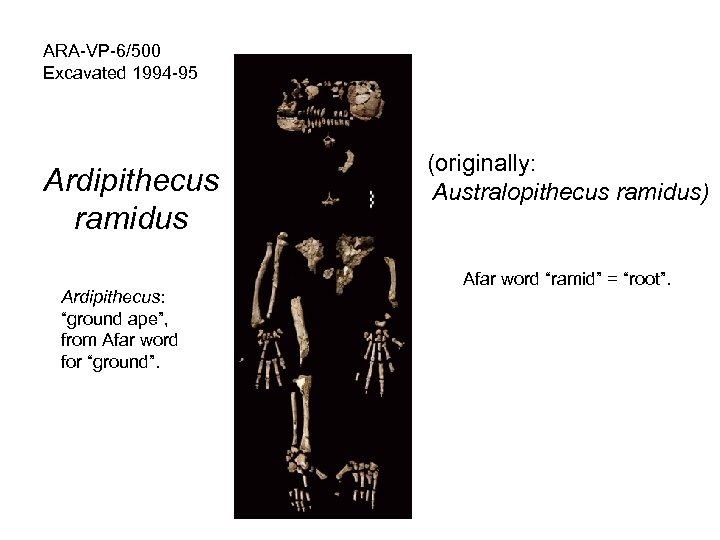 "ARA-VP-6/500 Excavated 1994 -95 Ardipithecus ramidus Ardipithecus: ""ground ape"", from Afar word for ""ground""."