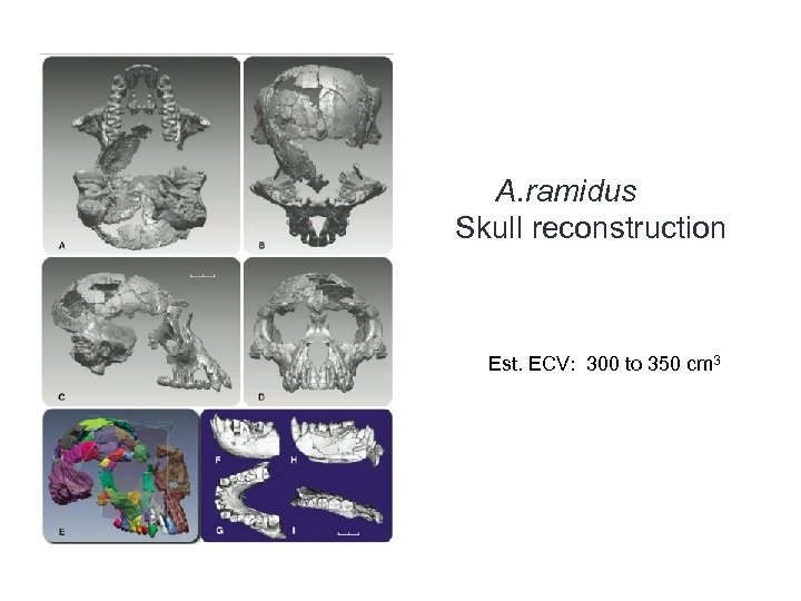 A. ramidus Skull reconstruction Est. ECV: 300 to 350 cm 3