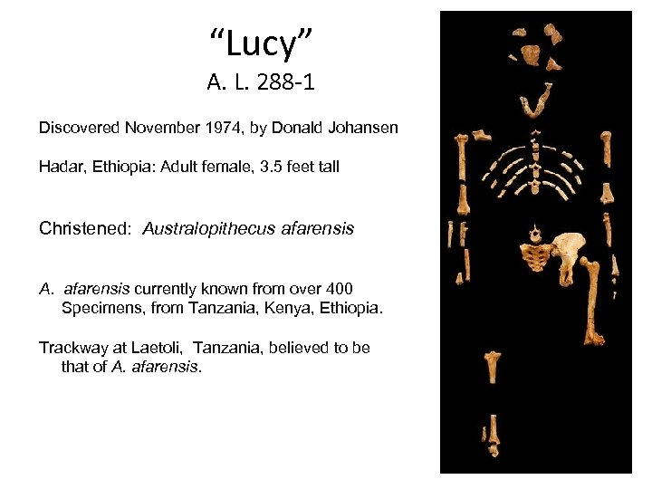 """Lucy"" A. L. 288 -1 Discovered November 1974, by Donald Johansen Hadar, Ethiopia: Adult"