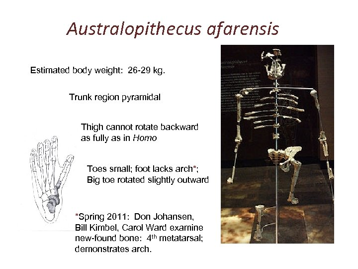 Australopithecus afarensis Estimated body weight: 26 -29 kg. Trunk region pyramidal Thigh cannot rotate