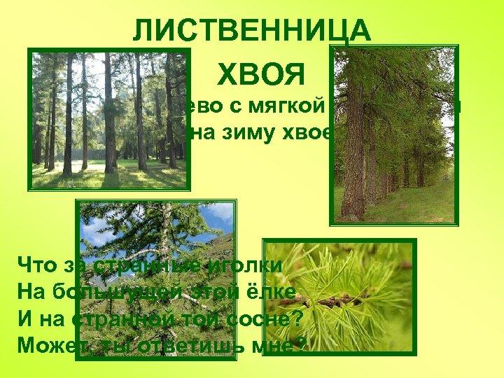ЛИСТВЕННИЦА ХВОЯ Хвойное дерево с мягкой опадающей на зиму хвоей Что за странные иголки