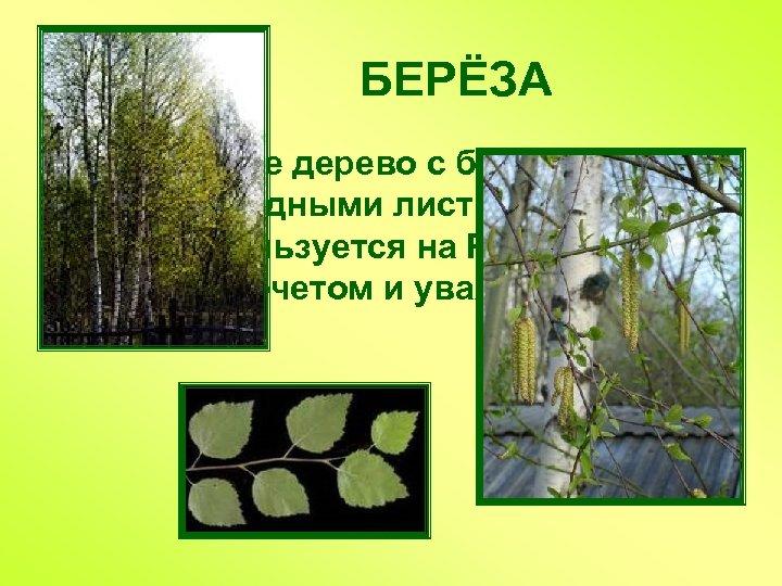 БЕРЁЗА Лиственное дерево с белой корой и сердцевидными листьями, с давних пор пользуется на