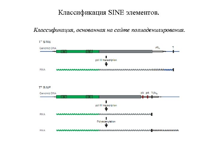 Классификация SINE элементов. Классификация, основанная на сайте полиаденилирования.
