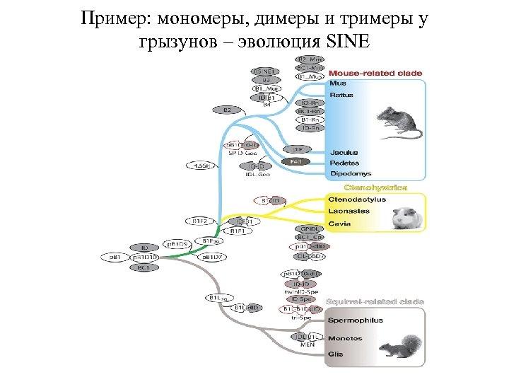 Пример: мономеры, димеры и тримеры у грызунов – эволюция SINE