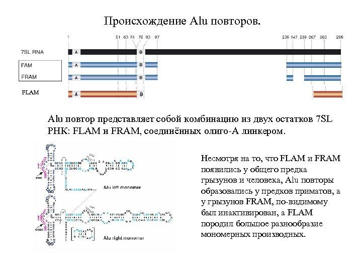 Происхождение Alu повторов. FLAM Alu повтор представляет собой комбинацию из двух остатков 7 SL