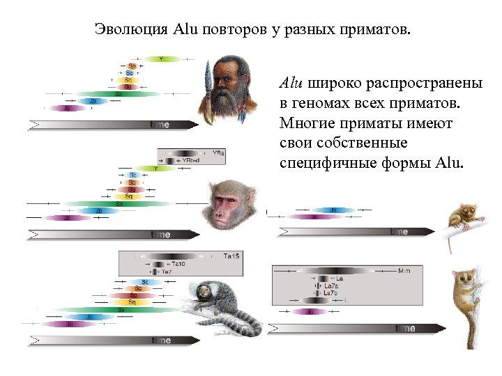 Эволюция Alu повторов у разных приматов. Alu широко распространены в геномах всех приматов. Многие