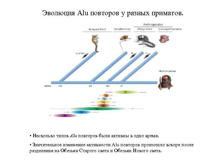 Эволюция Alu повторов у разных приматов. • Несколько типов Alu повторов были активны в