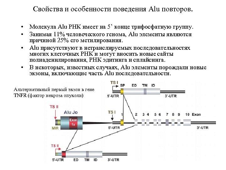 Свойства и особенности поведения Alu повторов. • Молекула Alu РНК имеет на 5' конце