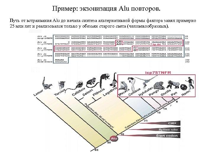 Пример: экзонизация Alu повторов. Путь от встраивания Alu до начала синтеза альтернативной формы фактора