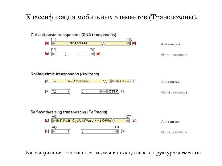 Классификация мобильных элементов (Транспозоны). Классификация, основанная на жизненных циклах и структуре элементов.