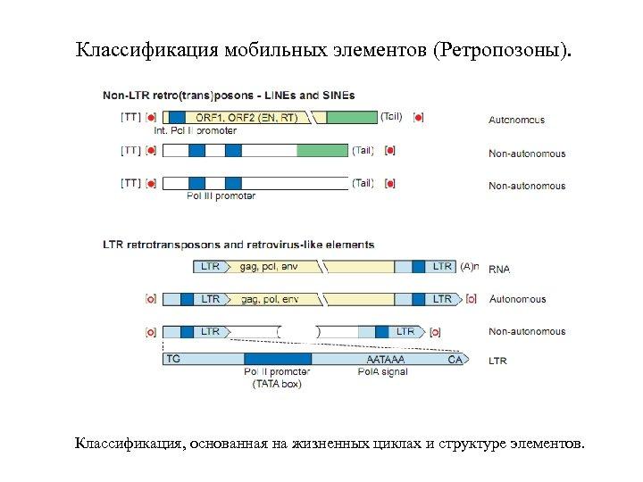 Классификация мобильных элементов (Ретропозоны). Классификация, основанная на жизненных циклах и структуре элементов.